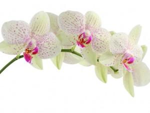 Une orchidée pour le langage des fleurs pour la bienvenue